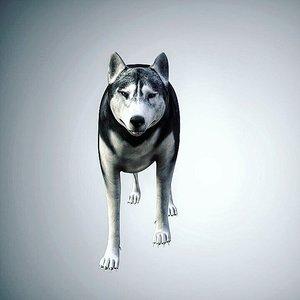 husky dog wolf model