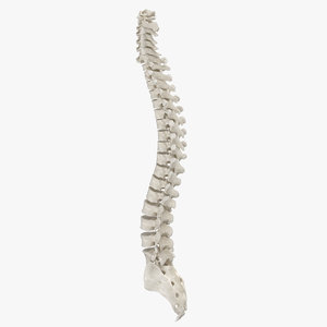 human spine bones anatomy 3D model