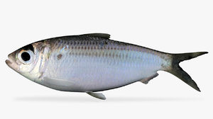 3D model scaled sardine