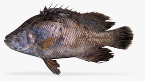 pacific tripletail model