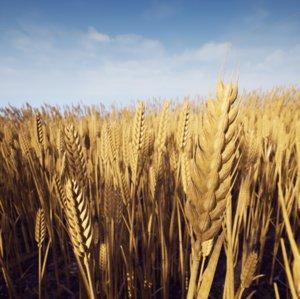 3D model photorealistic wheat