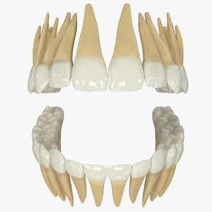3D model permanent teeth