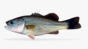 large mouth bass model