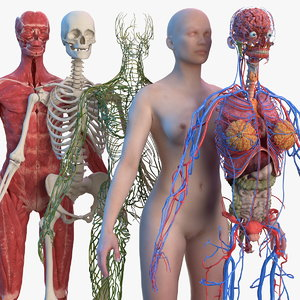 complete female body anatomy skin 3D model