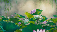 flower collection vol07 Lotus