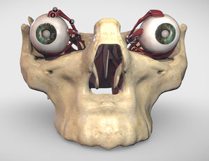 extraocular muscles eye 3D model