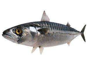 mackerel fish 3D model