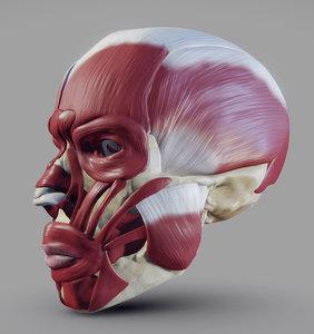 skull facial muscles 3D