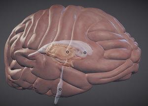 3D brain nuclei