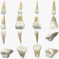 Realistic Human Teeth Collection