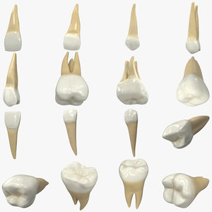 3D upper human teeth