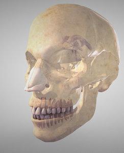 skull ventricles 3D model