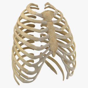 3D human rib thoracic cage anatomy