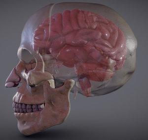brain skull 3D model