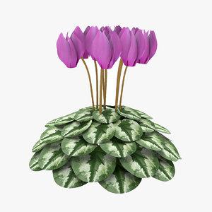 siklamen flower model