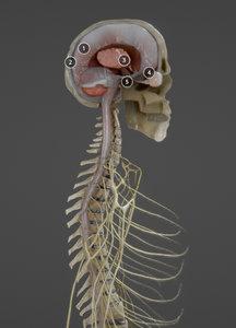 anatomy nerves 3D model