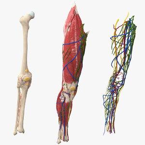 3D knee muscles bones