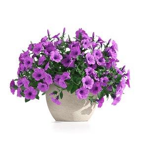 hybrida petunia model