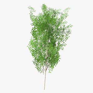 betula summer 3D model