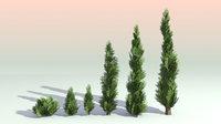 Pack of 6 Thuja Trees