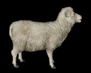 3D sheep livestock mammal model