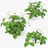 Garden Strawberry Plant with Flowers Set