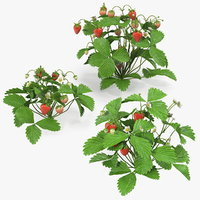 Bush of Strawberry Plant with Fruits Set