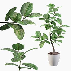 ficus benghalensis model