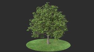 platanus summer hight 3D model