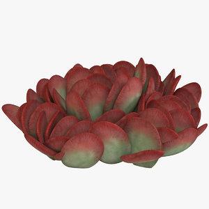 3D succulent pig s ear model