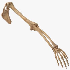 real human arm scapula model