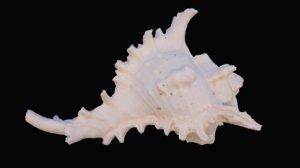 murex sea shell model