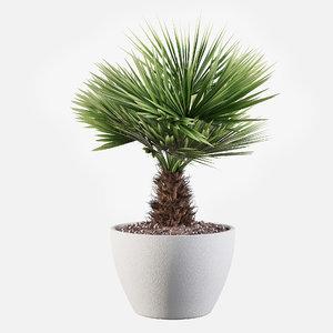 3D model chamaerops palm