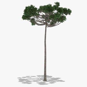 araucaria summer hight 3D model