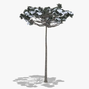 3D model araucaria winter hight