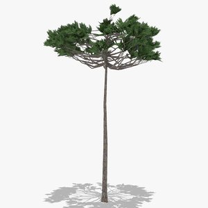 araucaria summer 3D