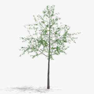 hawthorn flowers hight 3D