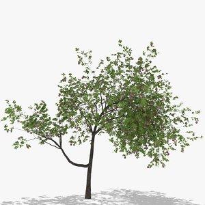 3D plum fruits hight model