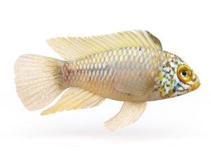 fish cichlid 3D