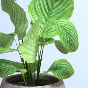 3D model calathea orbifolia