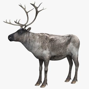 reindeer animal model