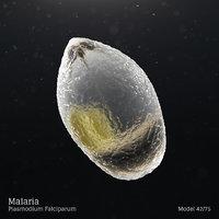 Malaria - Plasmodium Falciparum