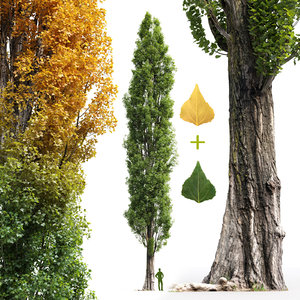 poplar tree 3D model