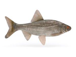 roach fish 3D