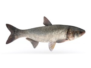 3D silver carp fish model