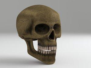 3d model of cranium