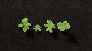 plant clover ground 3D
