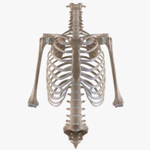 cage thoracic vertebrae humerii 3D model