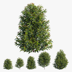 3D tree syzygium campanulatum plant model