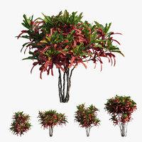 Croton plant set 06